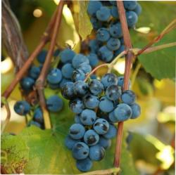 Indiana berry online store plants grapes for Table grapes zone 6