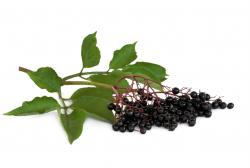 Elderberry - York