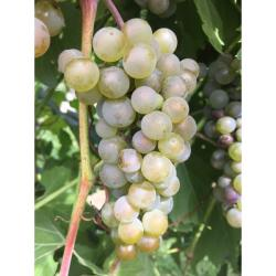 Itasca Grape